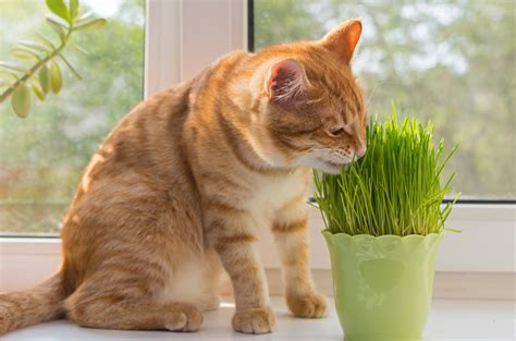 why do dogs eat cat why do cats eat grass 28 images why do cats eat grass and is it dangerous cats
