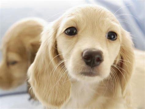 golden dachshund puppies golden doxie oh my goodness puppies dachshund golden dachshund and
