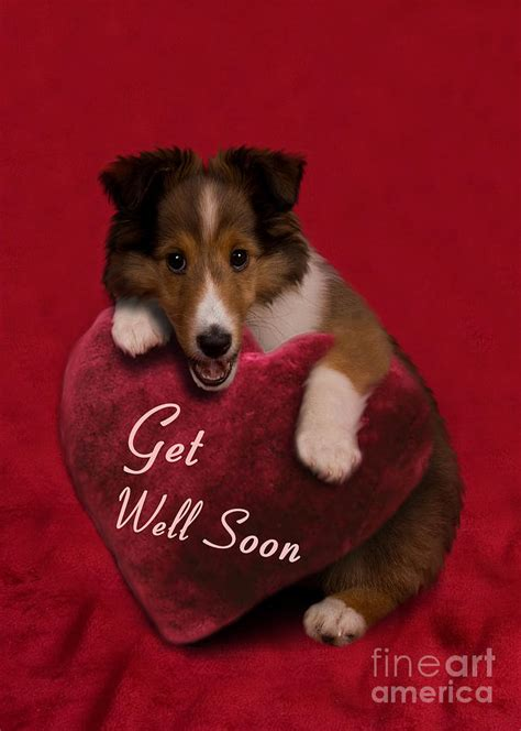 when to get puppy get well soon sheltie puppy photograph by jeanette k