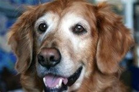 golden retriever coughing golden retrievers a complete guide for tender loving care