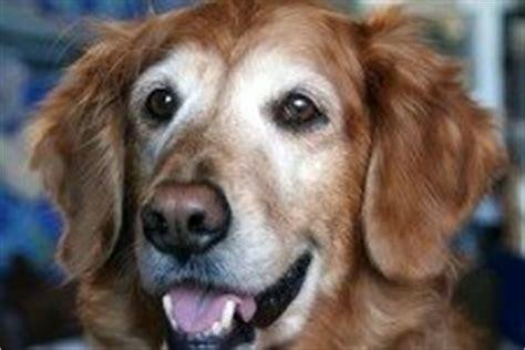 when do golden retrievers go in heat mating dogs golden retrievers