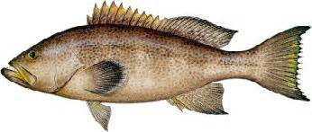 Grouper fish are found where for pinterest