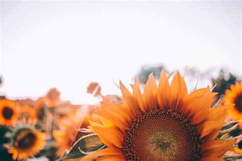 pink sunflower free image peakpx orange sunflowers free image peakpx