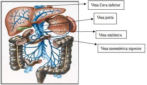 vena porta epatica una visita a nuestro cuerpo sistema digestivo anapaoar