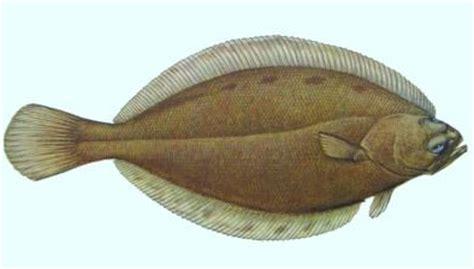 american plaice fish identification