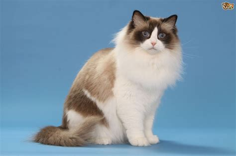 ragdoll information ragdoll cat breed information buying advice photos and