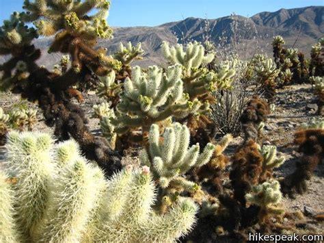 Cholla Cactus Garden cholla cactus garden joshua tree hikespeak