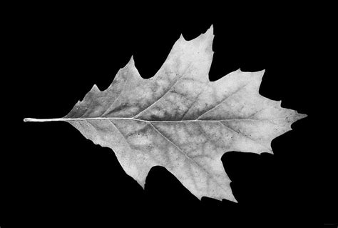 Oak Leaf Black And White Photograph By Jennie Marie Schell Black White Oak Leaf