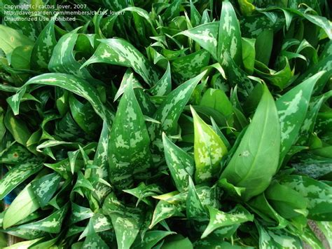 plants that do well in low light plantfiles pictures evergreen philippine evergreen aglaonema commutatum by plantladylin