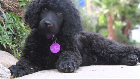 poodles puppies black standard poodle puppy meet my pal ralph
