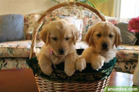 golden retriever cachorro precio gratis golden retriever cachorro zamora ciudad