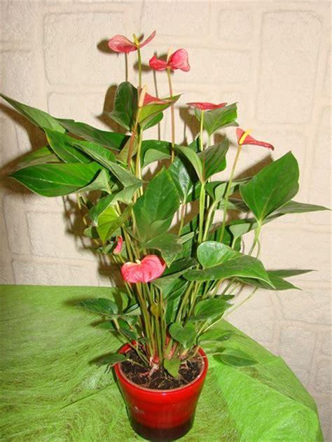 Plante D Appartement D Origine Tropicale by Plantes Montpellier Les Serres D Oc