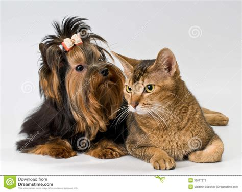yorkie and cats terrier and cat in studio stock image image 32617273