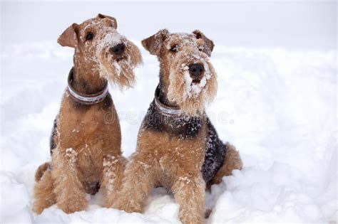 winter airedale haircut winter airedale haircut winter airedale haircut