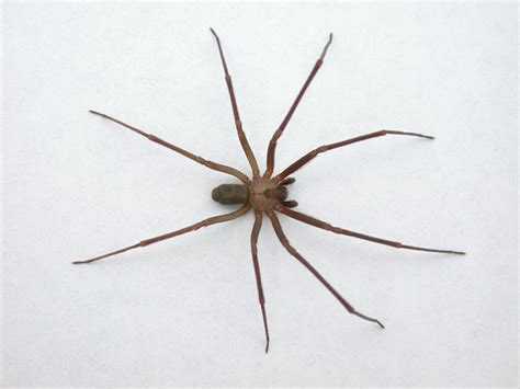 violin pattern on brown recluse scorpions spiders and ticks your hike guide
