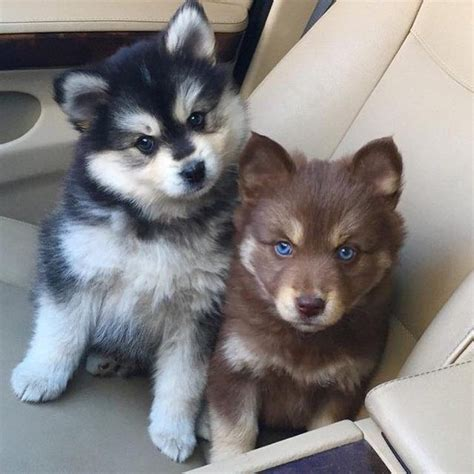 pomeranian and husky mixed best 25 husky pomeranian mix ideas on