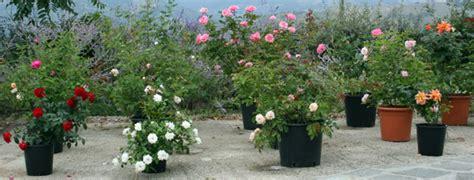 rosa in vaso il mese delle