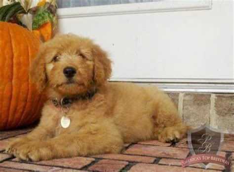 goldendoodle puppy names 1000 images about chien goldendoodle on