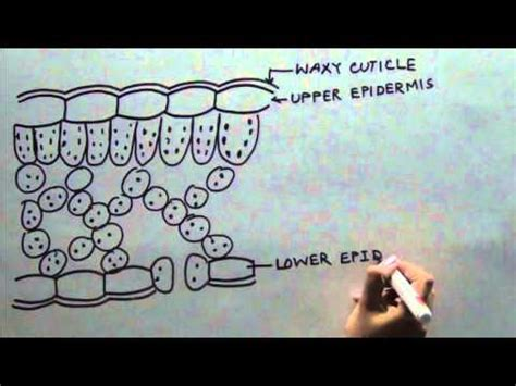 transfer section of leaf diagram of cross section of a leaf class x youtube