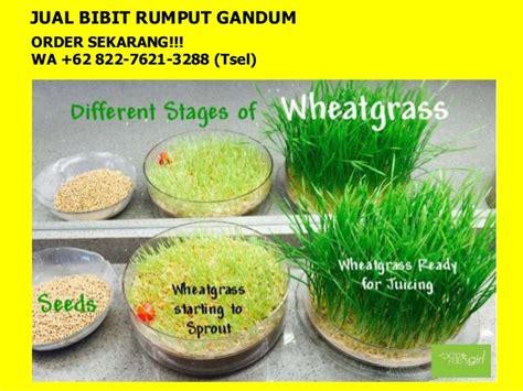 Benih Rumput Gandum Jakarta 62 822 7621 3288 tsel bibit wheatgrass jakarta