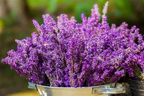 lavanda in vaso cure quali sono i fiori che resistono al sole foto pollicegreen