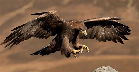 kp wild life dept foils bid to smuggle endangered eagle