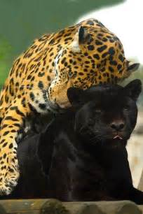 How Do Jaguars Reproduce Panthers In Mating Season I C Spots