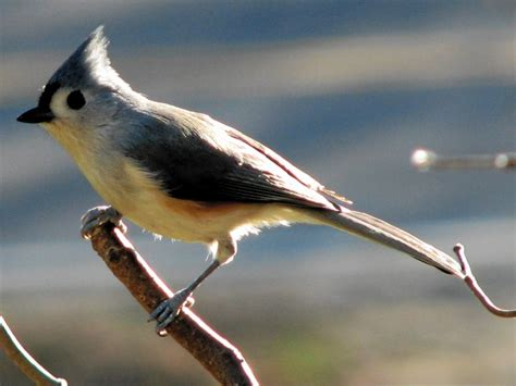 birds tufted titmouse