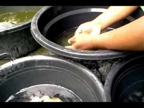 Jual Bibit Gurame Mojokerto indogurame jual telur gurame jual benih ikan gurame jual