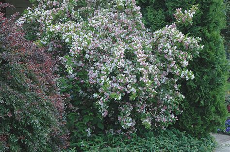 flowering shrubs oregon weigela oregon state univ landscape plants