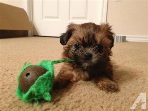 shih tzu yorkie mix puppies for sale michigan shih tzu yorkie maltese mix puppies for sale in rock
