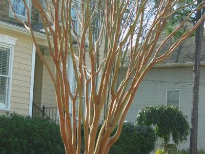 crepe myrtle pruning step by step southern living