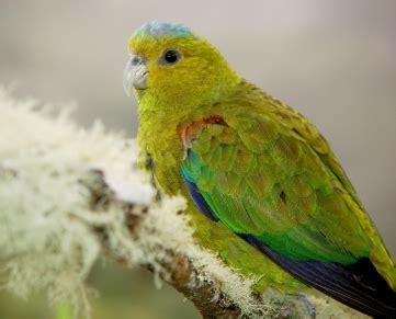 Alpukat Fuerte By Golden Effort threatened parrots proaves proaves