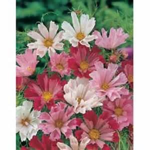 Jual Bibit Bunga Dahlia jual berbagai bibit bunga hias jual bibit bunga murah
