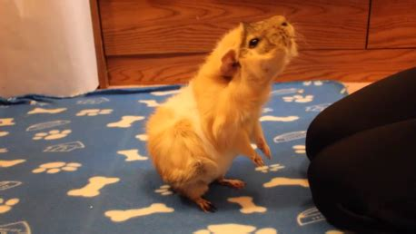 how to your to stand on hind legs how to teach a guinea pig to wave guinea pig tricks