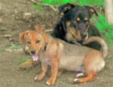 rottweiler greyhound mix greyhound mix with rottweiler breeds picture