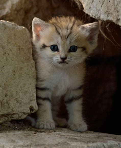 wants a kitten okay now i want a sand kitten