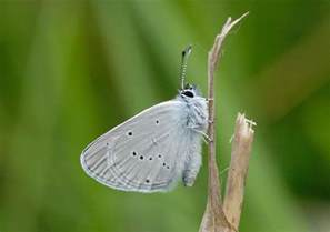 tiny tainy butterfly conservation small blue