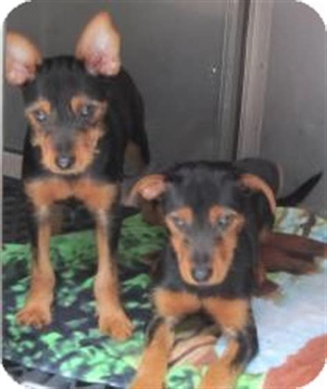 min pin yorkie mix costa adopted puppy 715xxxurgent bloomfield ct yorkie terrier