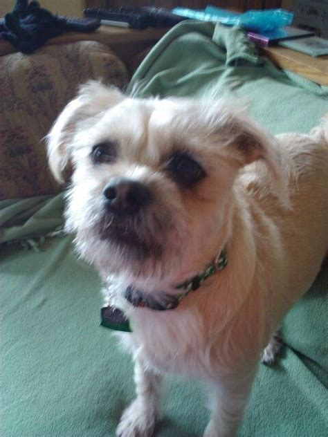 pug terrier mix molly my pug terrier mix things that make me want to