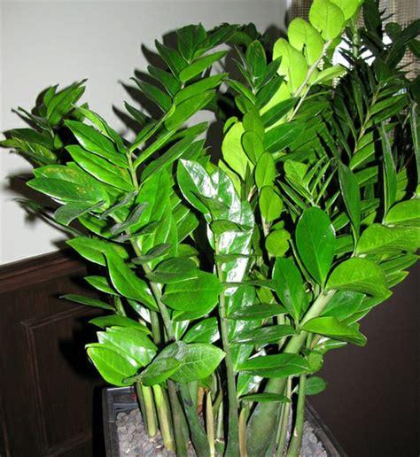jual bibit tanaman hias daun dolar  lapak green seed