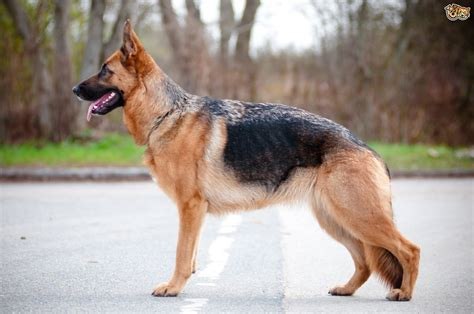 german dogs german shepherd breed information buying advice photos and facts pets4homes