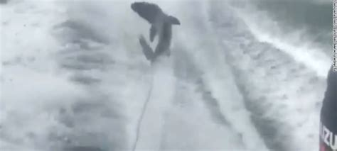 shark dragged to death behind boat outrage mounts over florida men who dragged shark to death