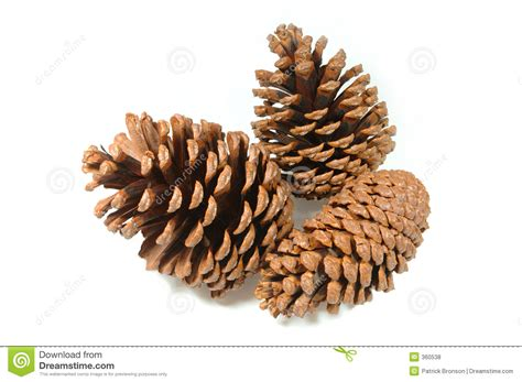 pinecone cluster royalty free stock photos image 360538