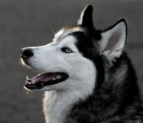 husky wallpaper blue eyes black siberian husky blue eyes husky wallpaper akita