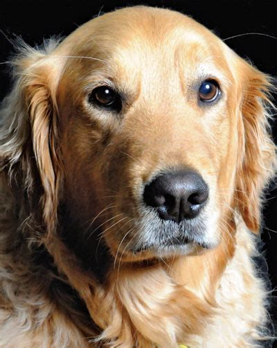 golden retriever cancer study large scale cancer study of golden retrievers holds for all dogs the bark
