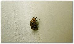 bed bugs on walls illinois bed bug dog effective bed bug detection