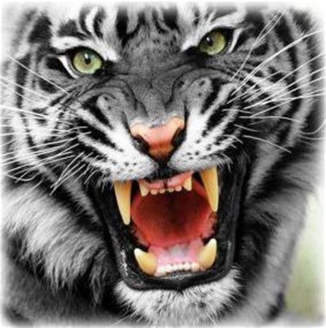 30 hasil foto macan yang imut dan gambar harimau putih muka ganas png update area kumpulan