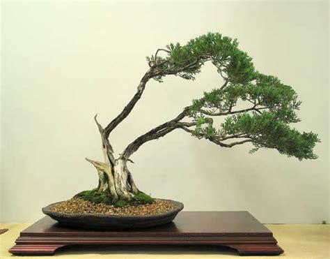 bonsai from native trees melaleuca thymifolia australian native plants as bonsai