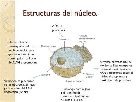 pics photos imagen tomada funciones nucleo ecro n 250 cleo celular biologuia